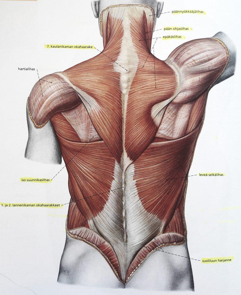 pinnalliset selkälihakset